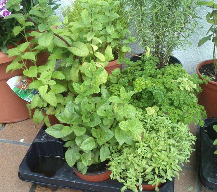 planta-albahaca-romero