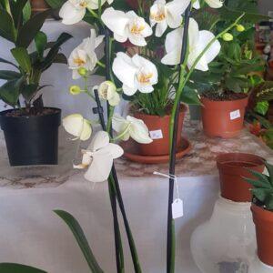 Phalaenopsis-white