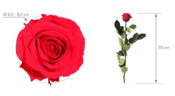rosa preservada Rosa tamaños