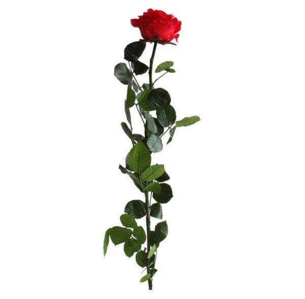 rosa-preservada-roja-tallo-premium