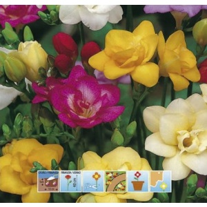 freesias-dobles